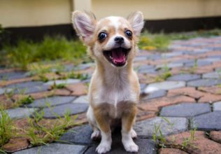 Eight Interesting Facts About Chihuahuas