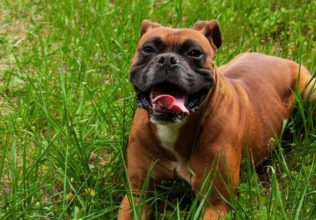 Questions to Ask a Breeder Before Getting a Boxer Pup